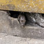 Rat, Mice and Rodent Exclusion – San Jose and Bay Area
