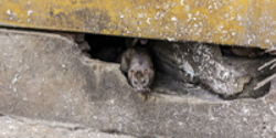 Signature Home Pest Control - San Jose Bay Area Rodent Exclusion, Home or Business